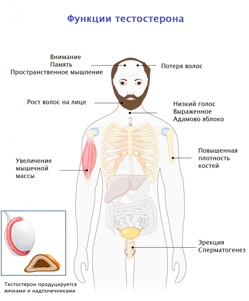 Функции тестостерона.jpg