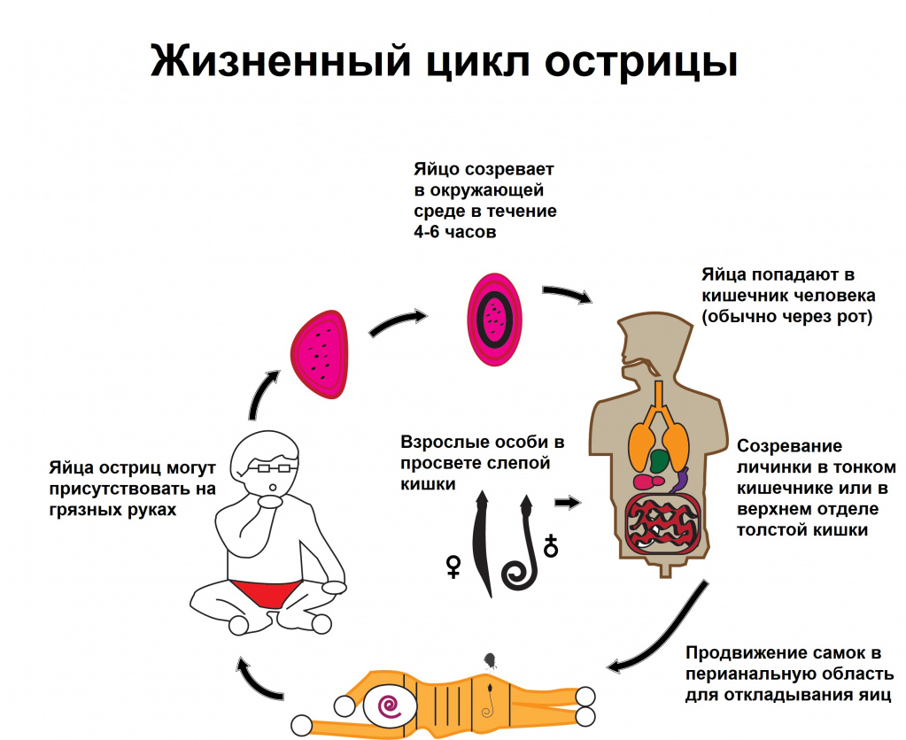 enterobiosis gatchina