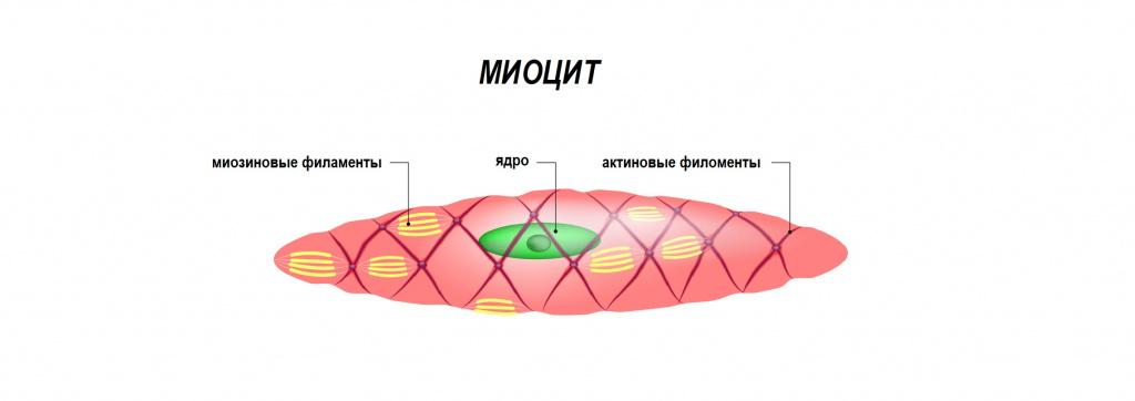 Нервные волокна.jpg